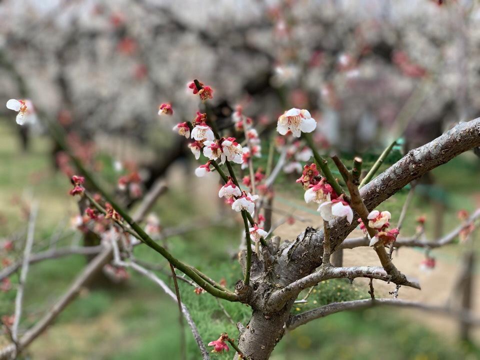 白梅のフリー写真素材