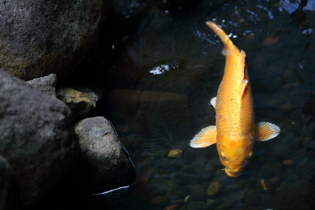池の鯉のフリー素材