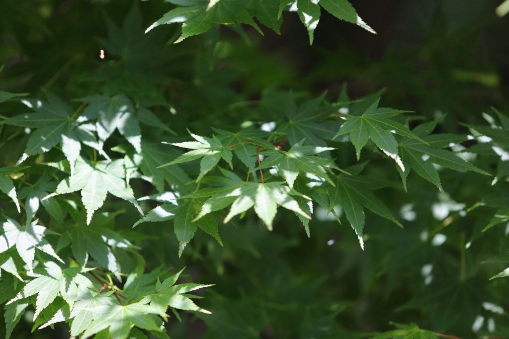 新緑の紅葉のフリー素材