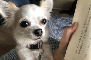 チワワと読書